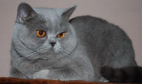 питомник британских короткошерстных кошек sunray.