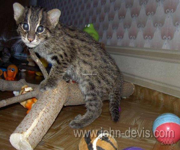 куплю котенка кота рыболова