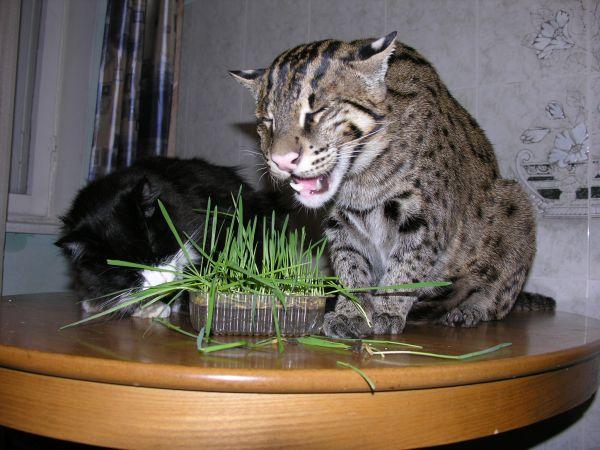 куплю азиатского кота рыболова